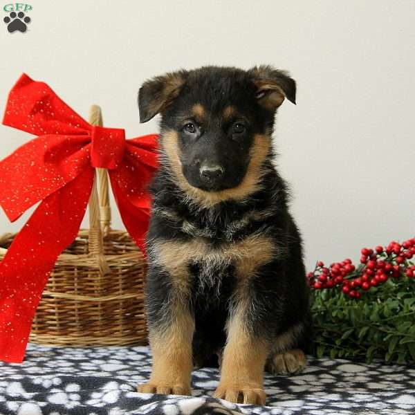 Cooper, German Shepherd Puppy