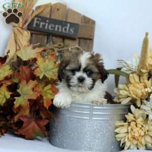 Shih Tzu Puppies For Sale Shih Tzu Dog Breed Info Greenfield Puppies
