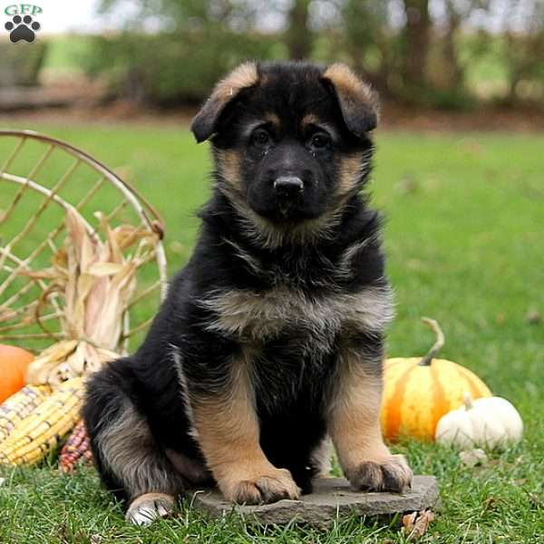 Diane, German Shepherd Puppy