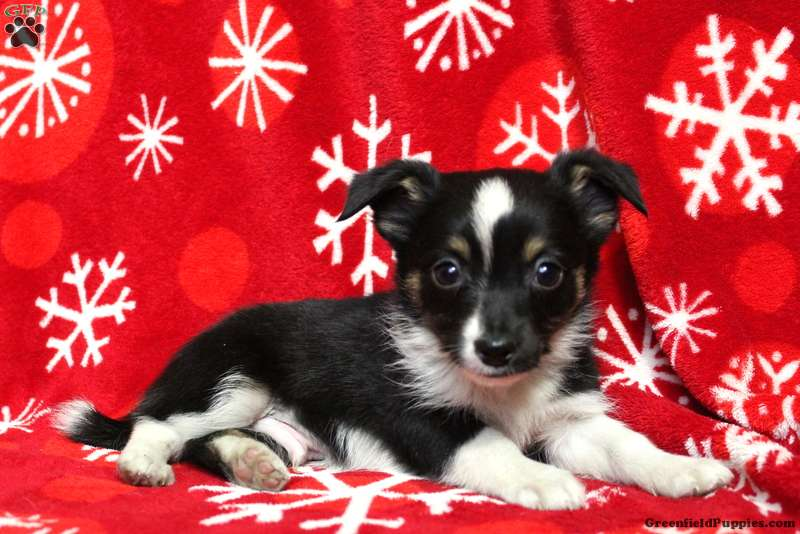 Digger Jack Russell Mix Puppy For Sale In Pennsylvania