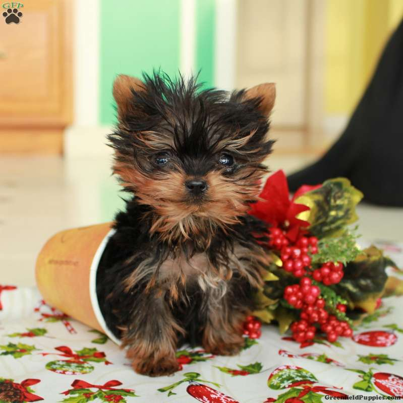 Dorian Teacup Yorkshire Terrier Puppy For Sale In Pennsylvania