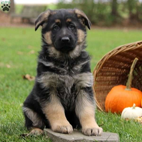 Duchess, German Shepherd Puppy