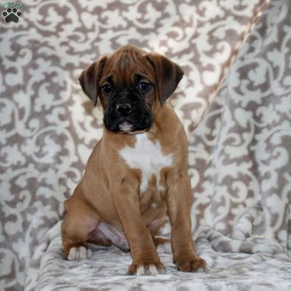 Earl, Boxer Puppy