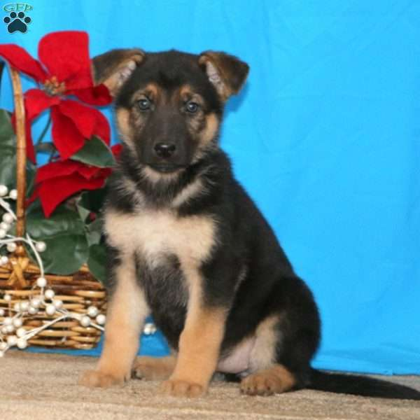 Fancy, German Shepherd Puppy