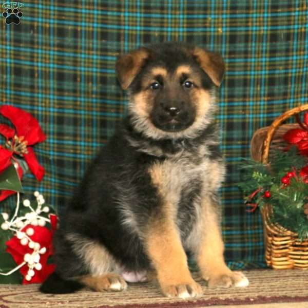 Fargo, German Shepherd Puppy