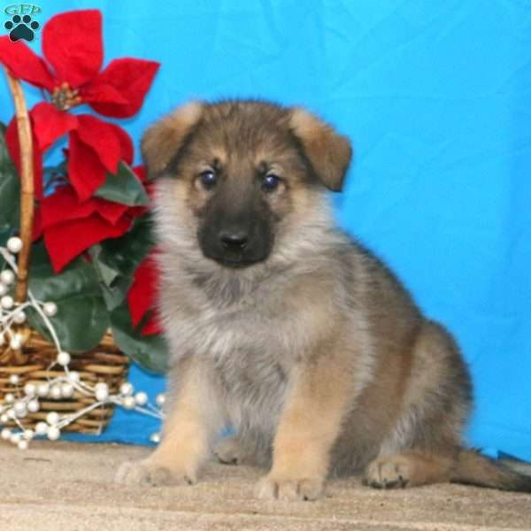 Fido, German Shepherd Puppy