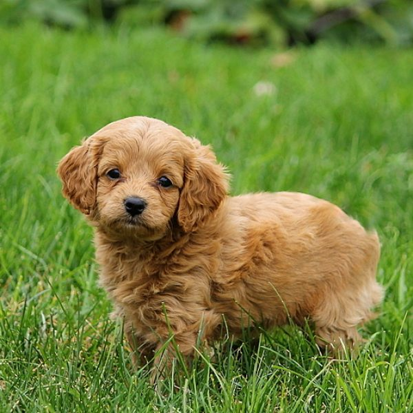 Forever Puppies For Sale Cavapoochon Puppies Greenfield Puppies