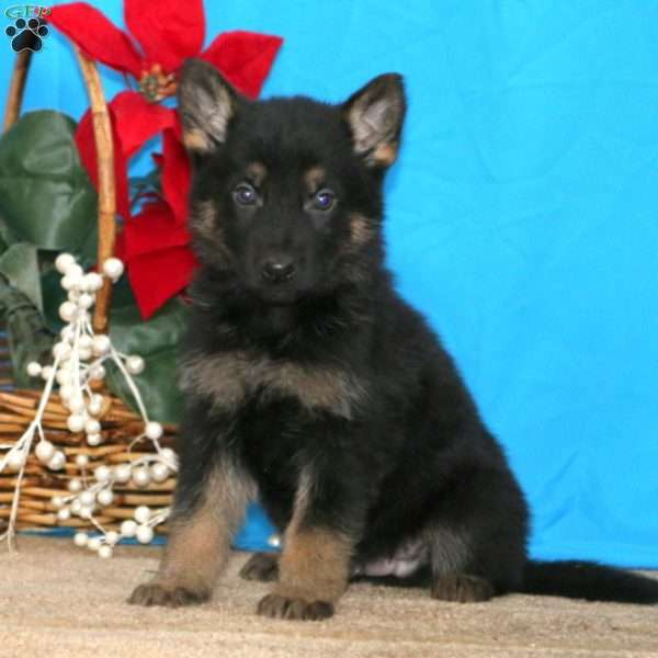 Freddy, German Shepherd Puppy