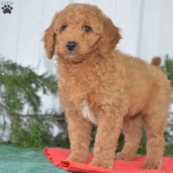 miniature goldendoodle ohio
