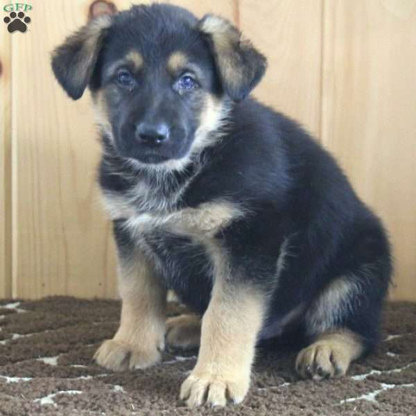 George, German Shepherd Puppy