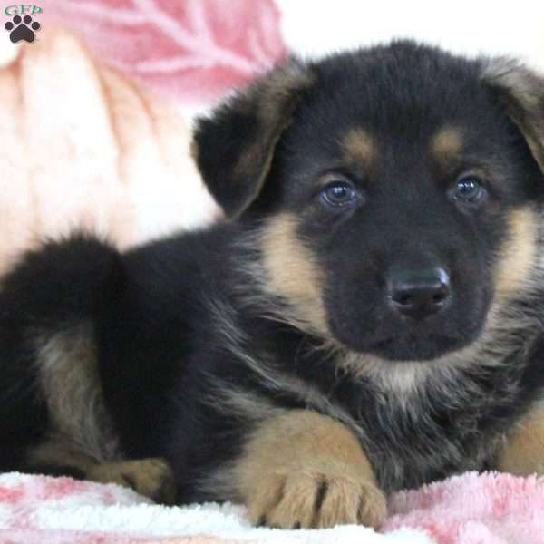 Grayson, German Shepherd Puppy