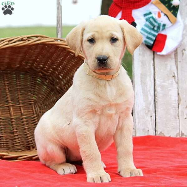 Hadassah, Yellow Labrador Retriever Puppy