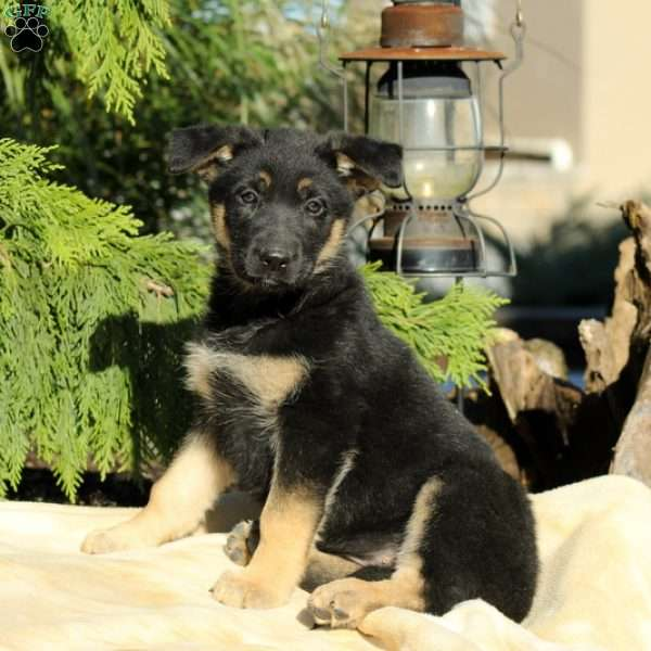 Harmony, German Shepherd Puppy