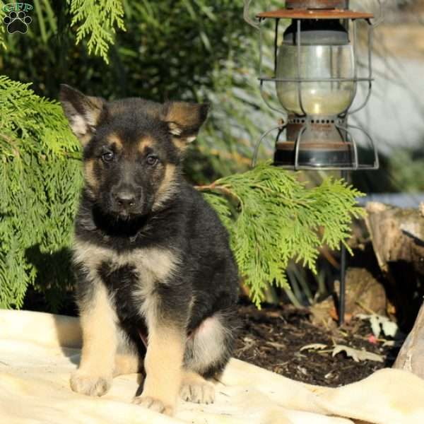 Hudson, German Shepherd Puppy
