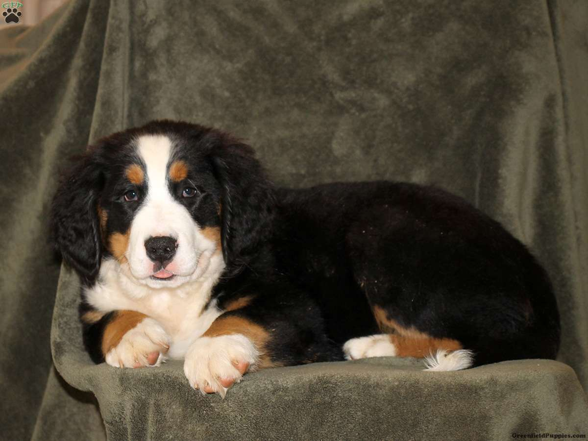 Jackson Bernese Mountain Dog Puppy For Sale In Pennsylvania