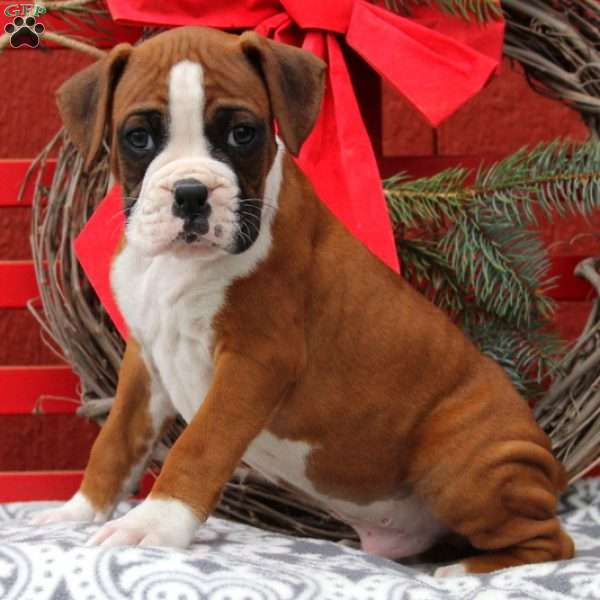 Jay, Boxer Puppy