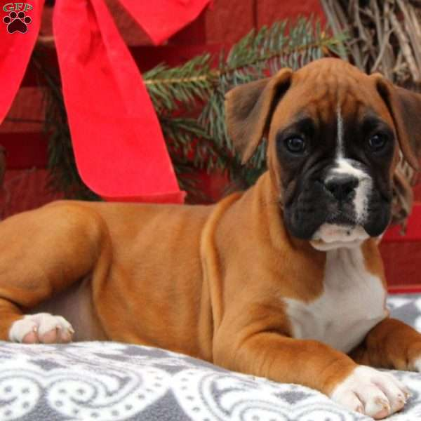 Jillian, Boxer Puppy