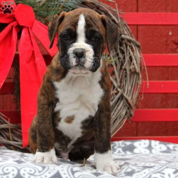 Joey, Boxer Puppy