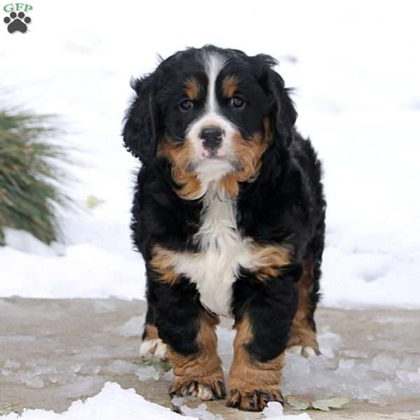 Mini Bernese Mountain Dog Puppies For