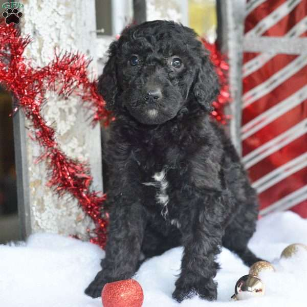 standard poodle puppies for sale ohio