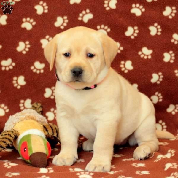 Kya, Yellow Labrador Retriever Puppy