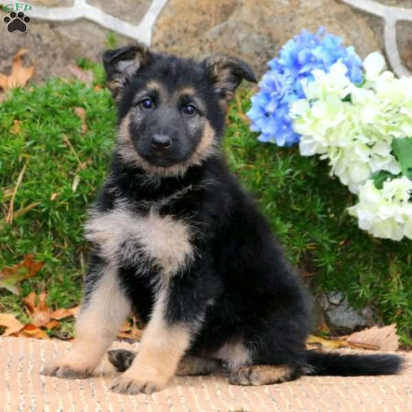 Lilly, German Shepherd Puppy