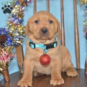 Fox Red Labrador Retriever Puppies For Sale Greenfield Puppies