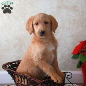 Labradoodle Puppies For Sale Labradoodles Greenfield Puppies
