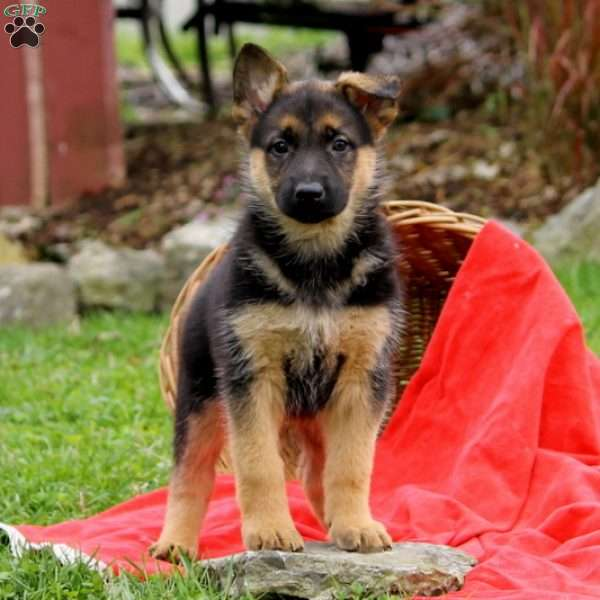 Odette, German Shepherd Puppy