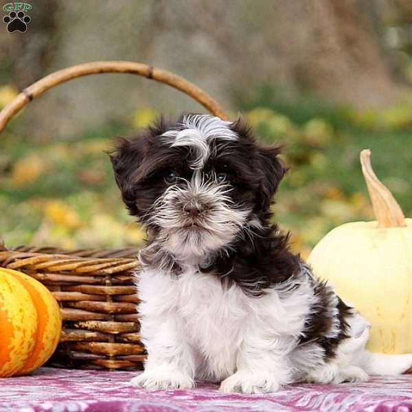 Owen, Havanese Puppy