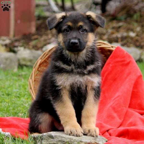 Owen, German Shepherd Puppy