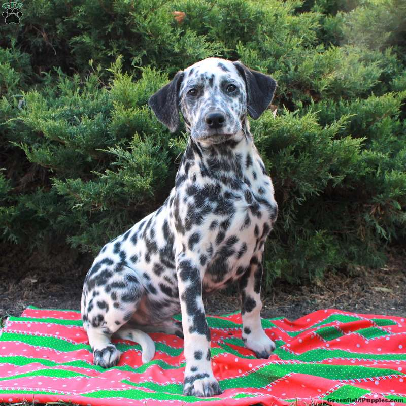 Patch Dalmatian Puppy For Sale In Pennsylvania