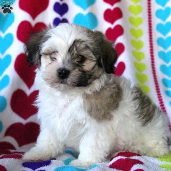 Patches, Havanese Puppy