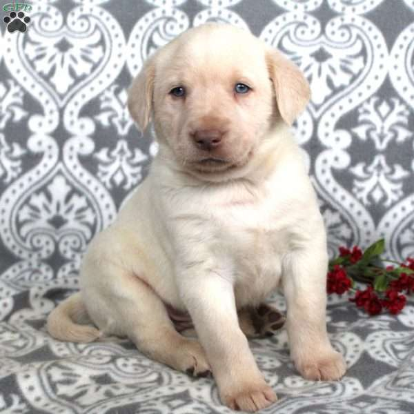 Paxton, Yellow Labrador Retriever Puppy