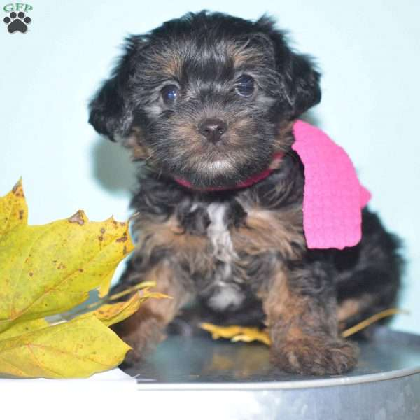 Roxy Yorkie Poo Puppy For Sale In Ohio