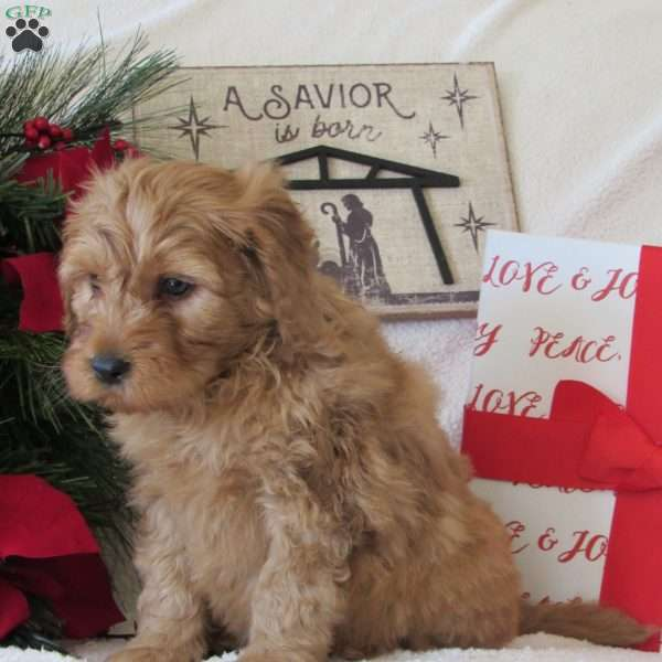 Rudolph, Mini Goldendoodle Puppy