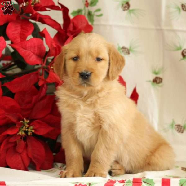 Sarge Golden Retriever Puppy For Sale In Pennsylvania