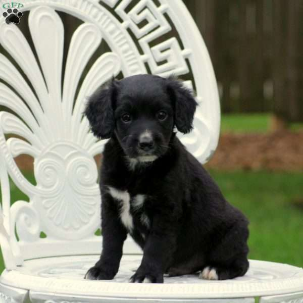 Snickers - Miniature - Springerdoodle Puppy For Sale in Pennsylvania
