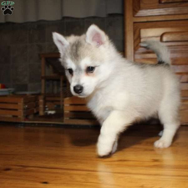 Sophie Pomsky Puppy For Sale In Illinois