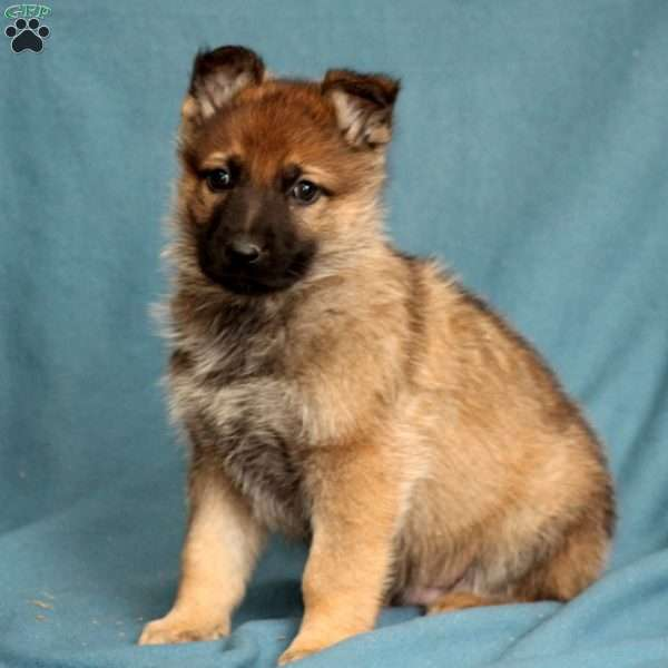 Trigger, German Shepherd Puppy