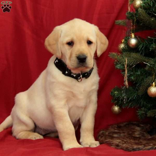 Zaney, Yellow Labrador Retriever Puppy