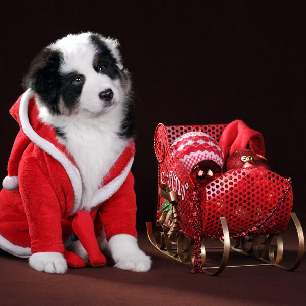 border collie puppy in santa outfit next to a sleigh