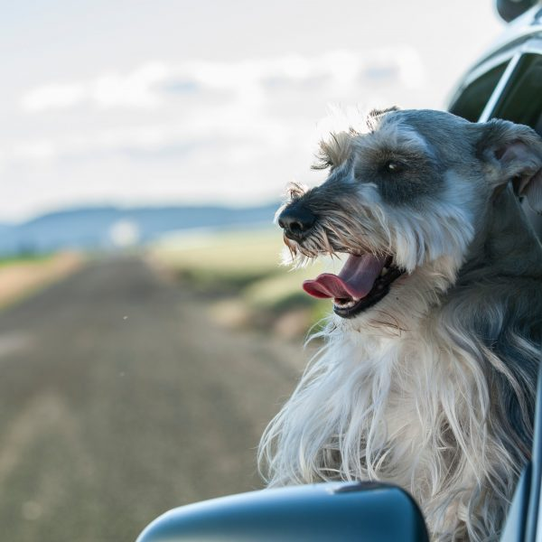 mini schnauzer leaning out of a car window