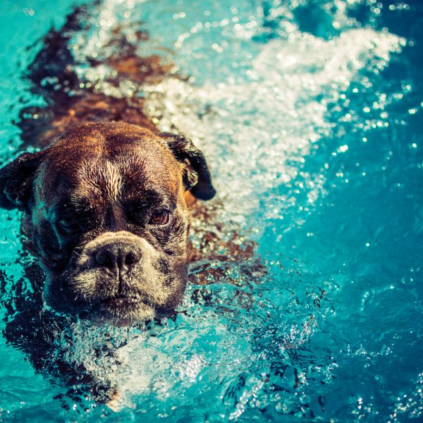 older boxer dog swimming in a pool
