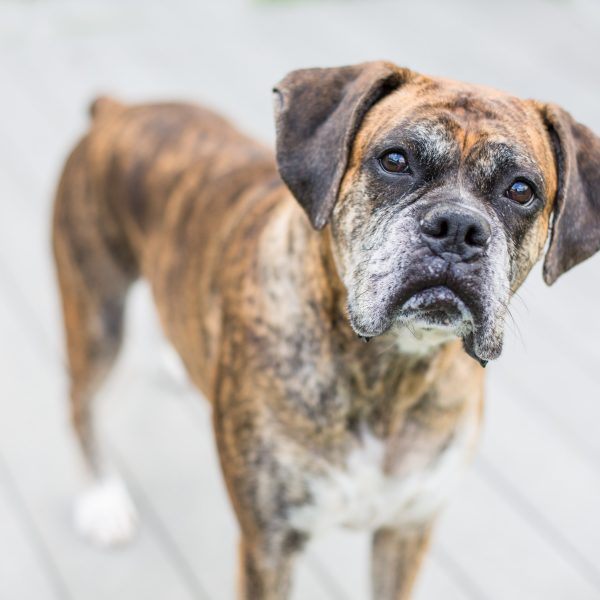 older brindle boxer dog