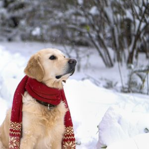 young golden retriever wearing a red scarf in the snow