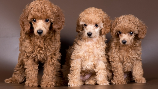 5 Things to Know About Miniature Poodle Puppies