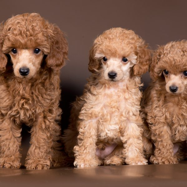 3 miniature poodle puppies sitting together