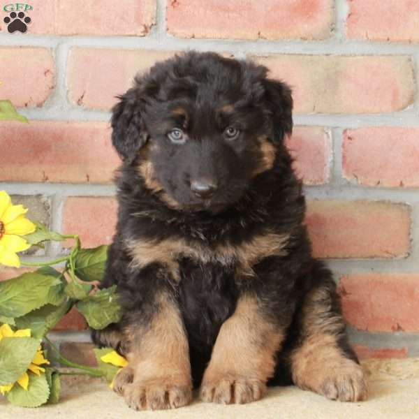Ace, German Shepherd Puppy