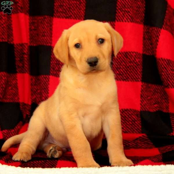 Alec, Yellow Labrador Retriever Puppy